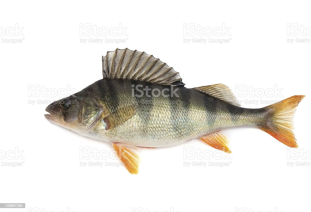 A dead Perch fish on a white background stock photo