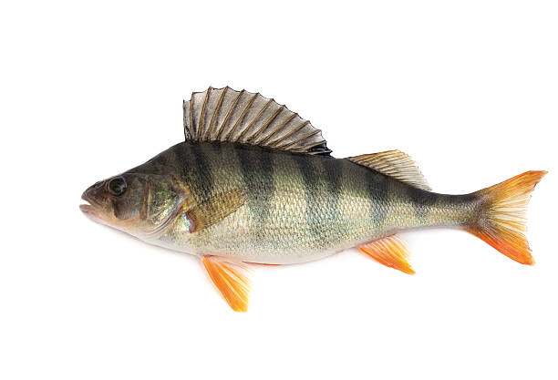 A dead Perch fish on a white background Fish, perch - isolated on white background.. perch fish stock pictures, royalty-free photos & images