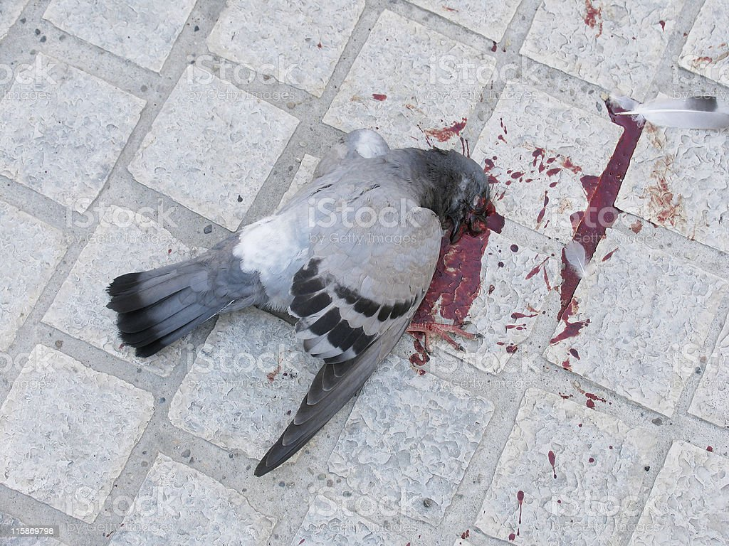 Dead pigeon royalty-free stock photo