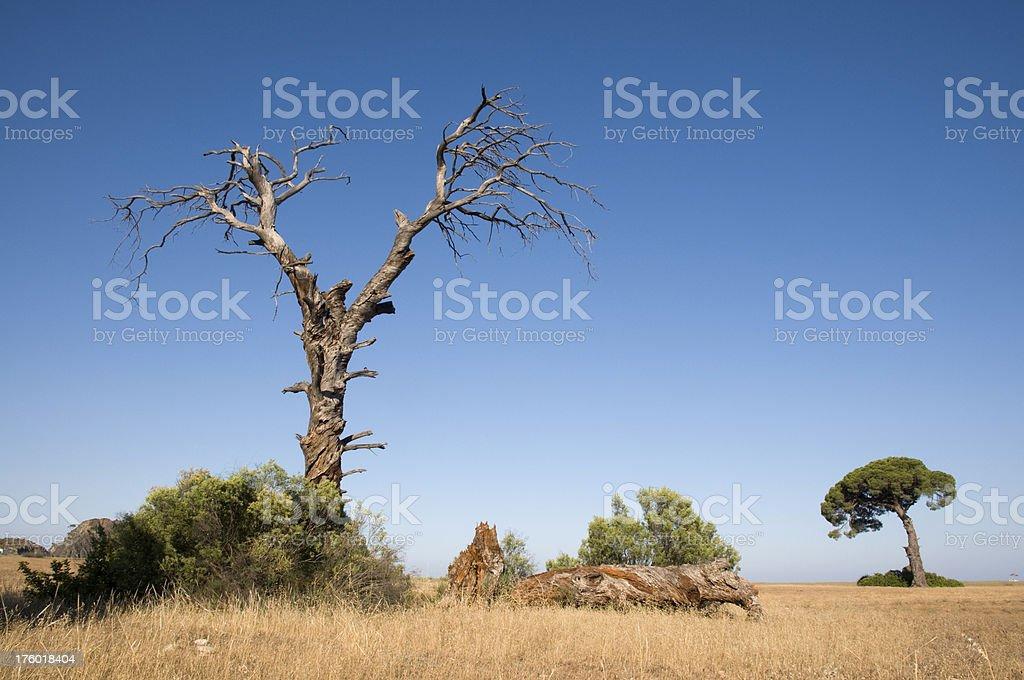 Dead pine tree royalty-free stock photo