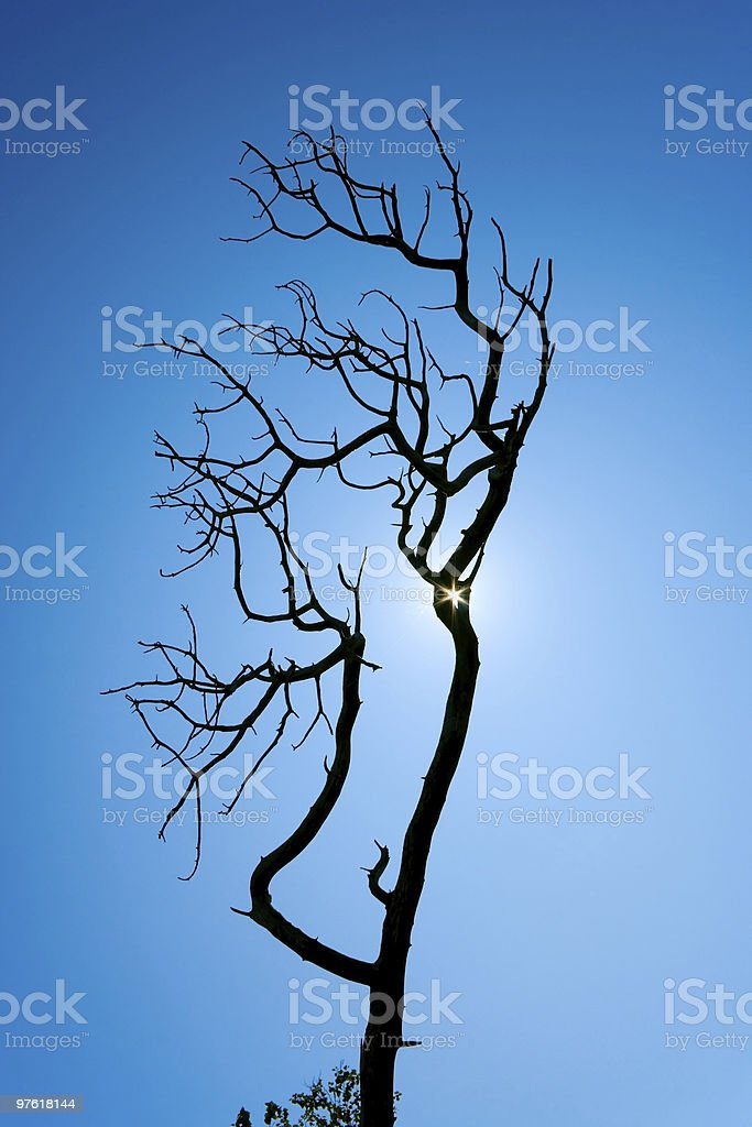 Dead pine tree silhouette royalty-free stock photo
