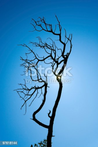 Dead Pine Tree Silhouette Stock Photo & More Pictures of Back Lit