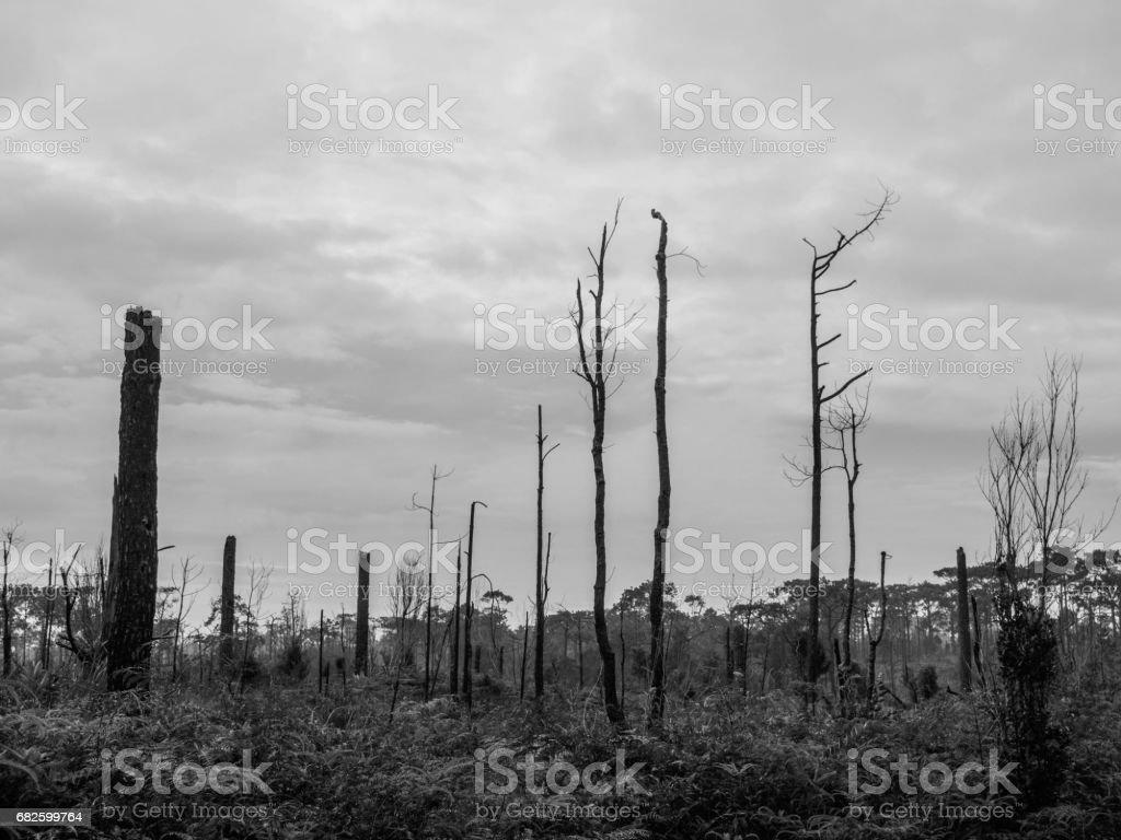 pinos muertos en tono Prado, blanco y negro - foto de stock
