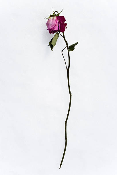 dead pink rose stock photo