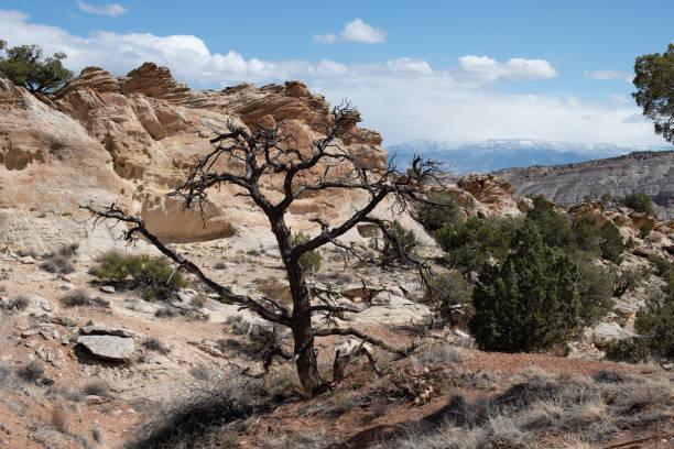 Dead Pinyon Pine stock photo