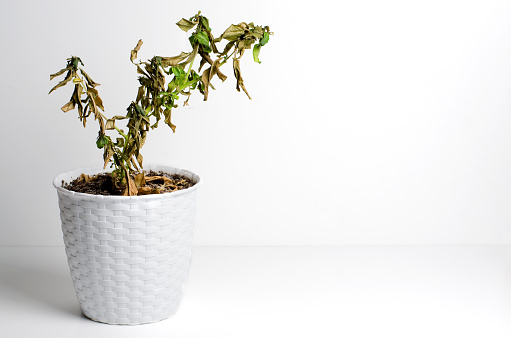 Dead plant in a pot. The concept of improper care of houseplants. White background