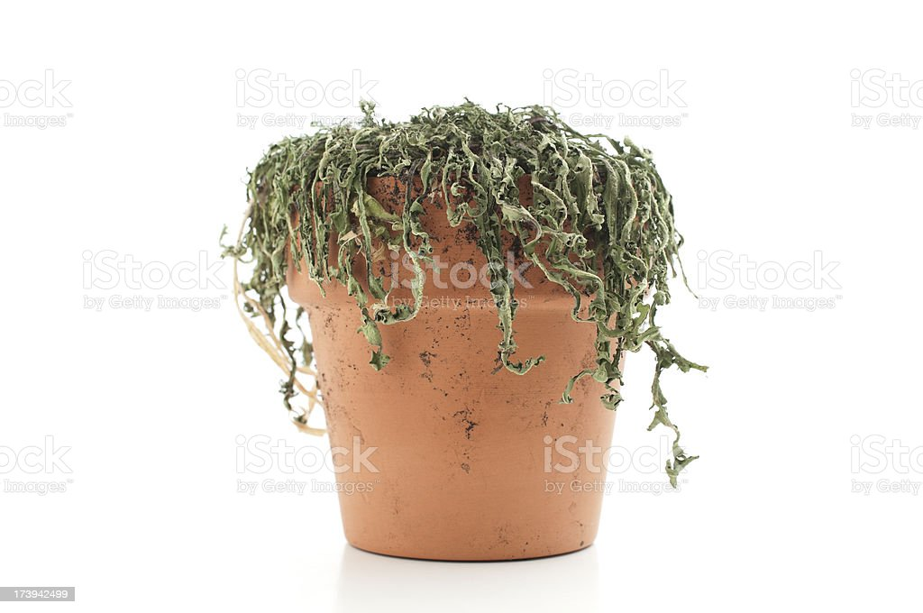Dead plant in pot royalty-free stock photo