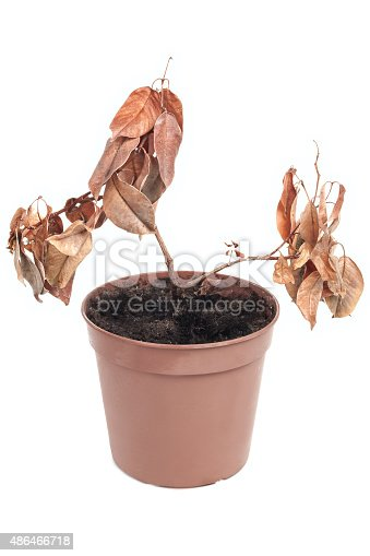 Dead plant in pot isolated on white background