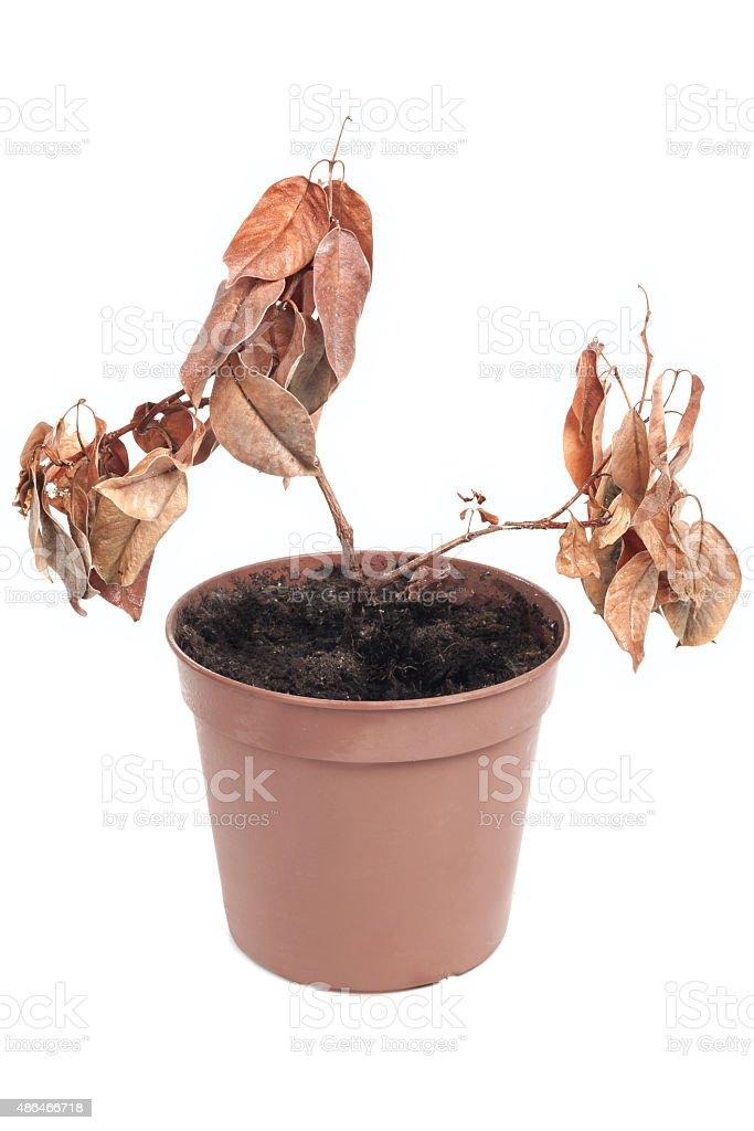 Dead plant in pot stock photo