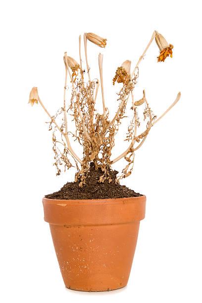 planta morta - planta morta imagens e fotografias de stock