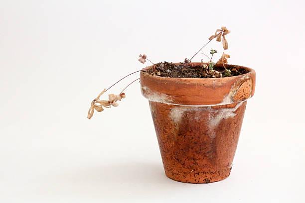 dead planta de vaso sobre fundo branco - planta morta imagens e fotografias de stock