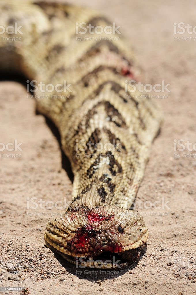 Dead Puff Adder royalty-free stock photo