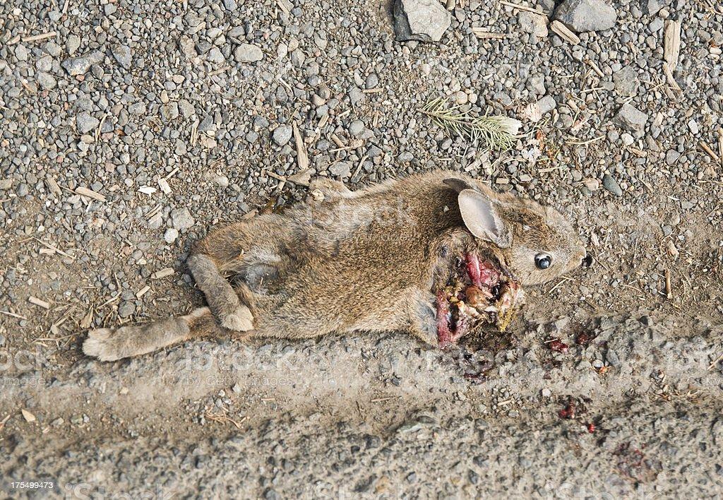 Dead Coelho Roadkill - foto de acervo