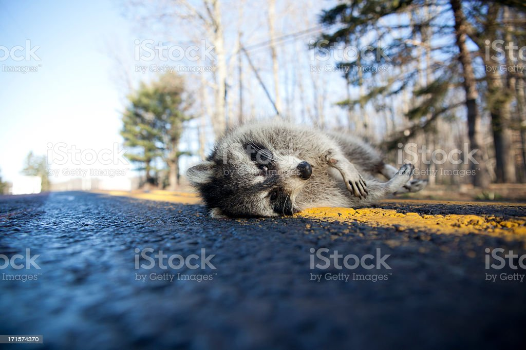 Dead racoon killed by car on the forest highway royalty-free stock photo