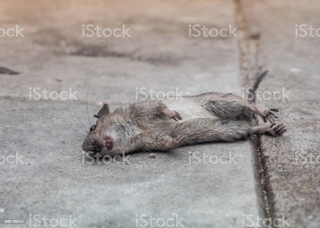 Dead rat death on the sidewalk – Foto