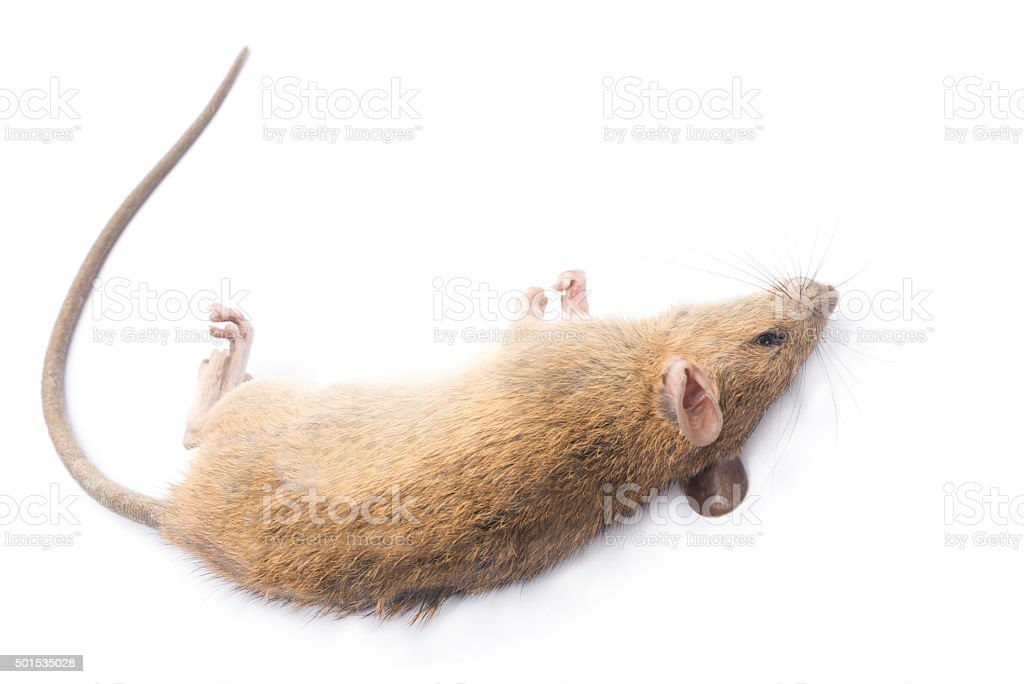 Dead rat Isolated on White Background stock photo