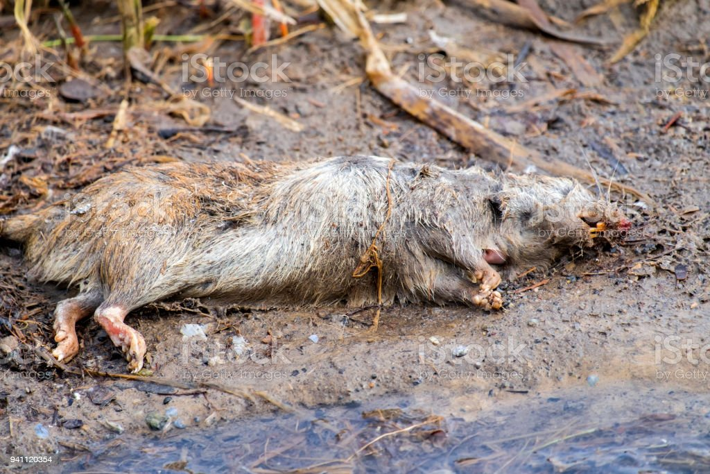 Dead rat lies on the river bank stock photo