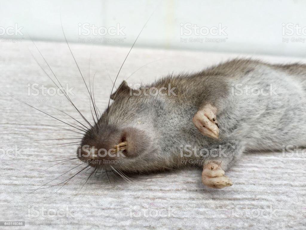 Tote Ratte auf – Foto