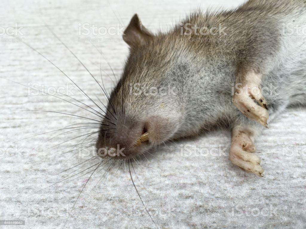 Tote Ratte – Foto