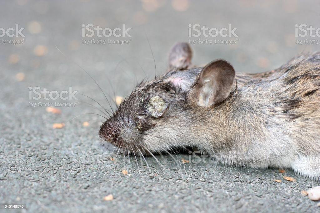 Tote Ratte mit Maden in ihren Augen – Foto