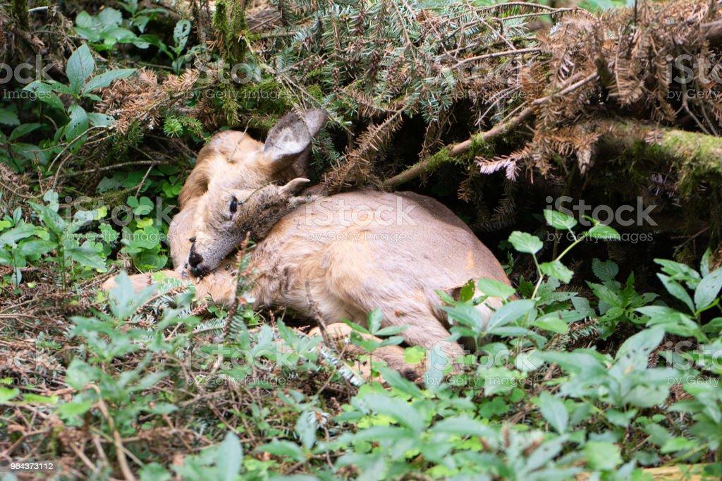 Dode rode herten in het bos - Royalty-free Boerderij Stockfoto