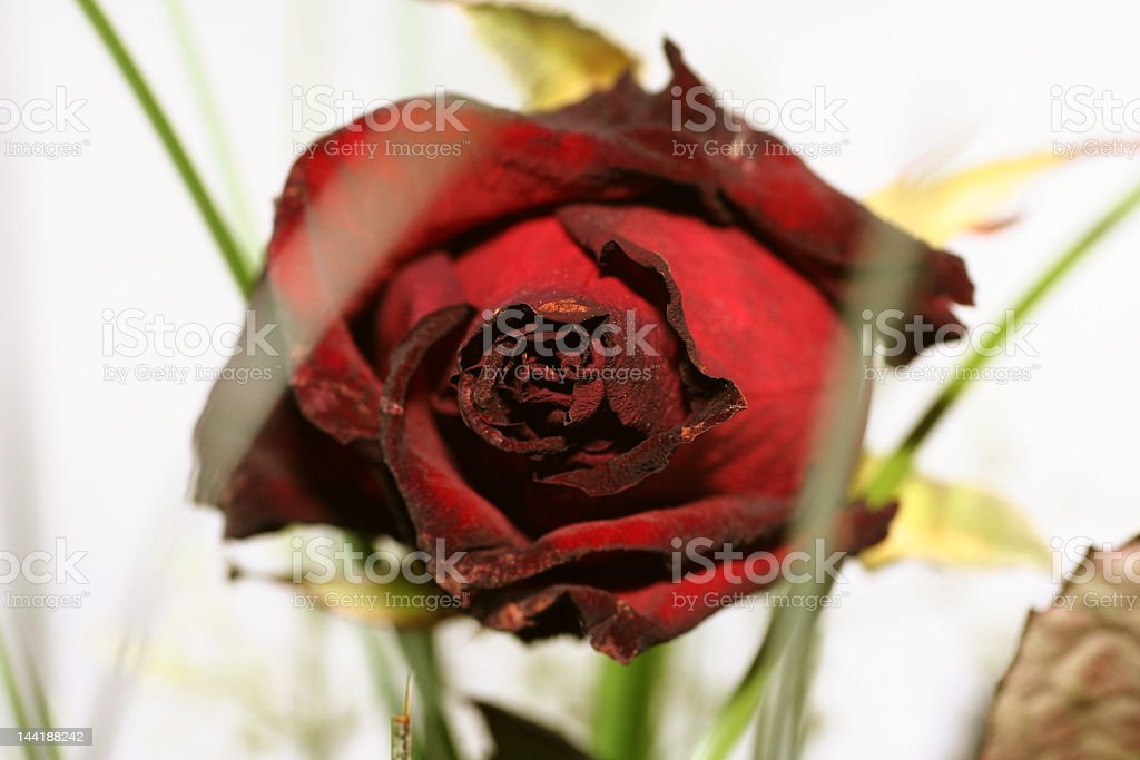 Dead red rose royalty-free stock photo