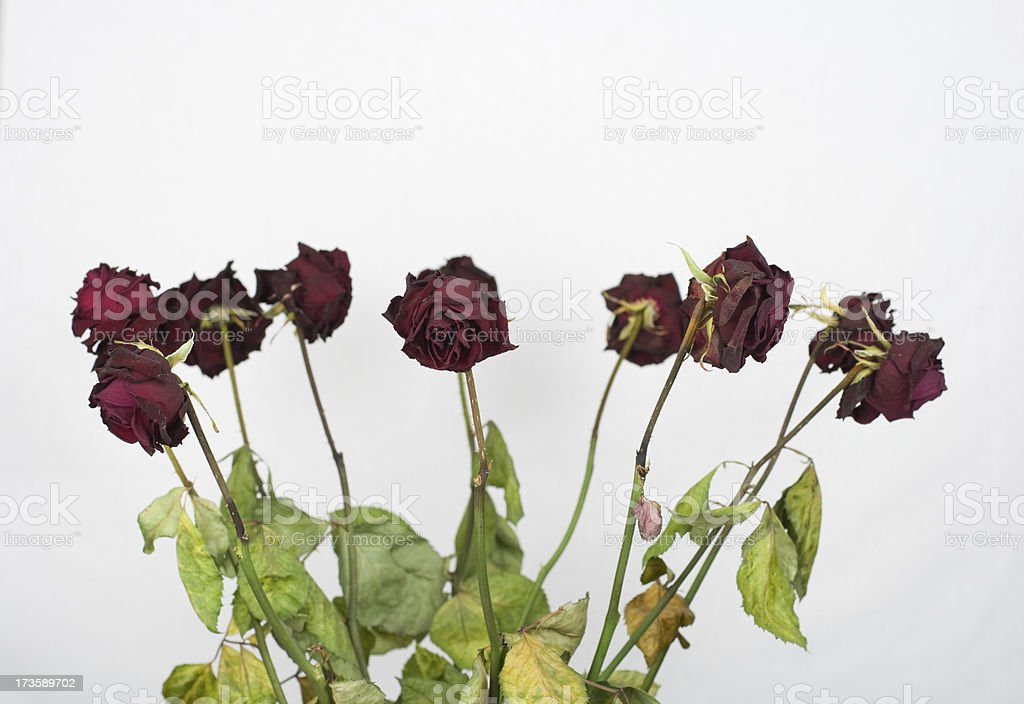 Dead red roses royalty-free stock photo