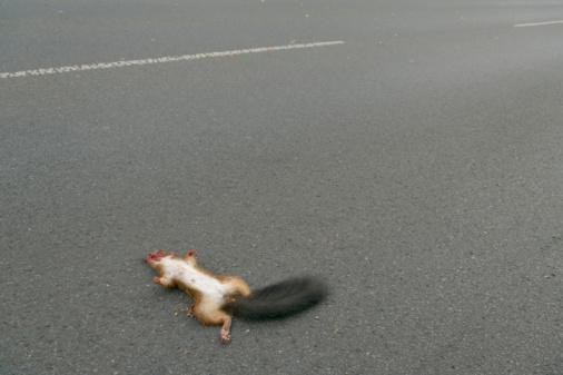 Dead red squirrel on road asphalt (XXL)