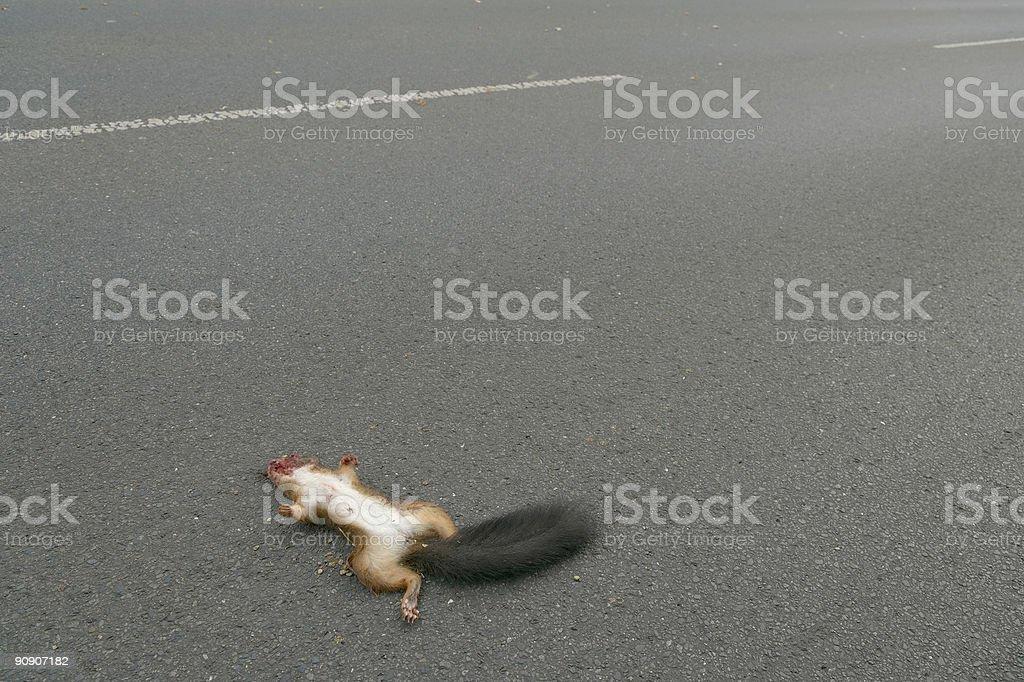 Dead Esquilo vermelho na estrada de asfalto (XXL - foto de acervo