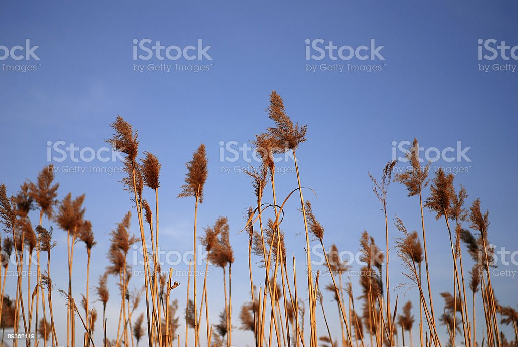 Dead reeds and clear blue sky royalty-free stock photo
