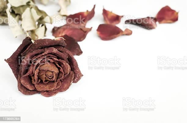 Dead rose picture id173665264?b=1&k=6&m=173665264&s=612x612&h=becz2skxyyrqvkjwoji oxyosg 8c7 fdigvtt0ggym=