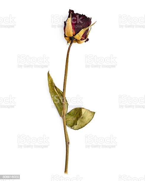 Dead rose picture id506618020?b=1&k=6&m=506618020&s=612x612&h=z8v4scli6ywkgnqzkkvfh8uyhd3nptzv3mzfjyrwfok=