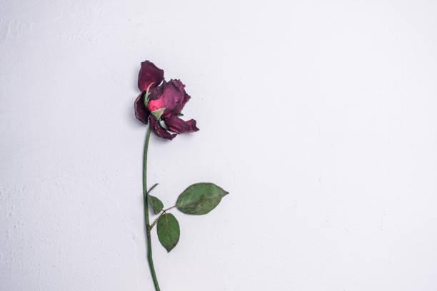 Dead rose picture id697523318?b=1&k=6&m=697523318&s=612x612&w=0&h=rh1mxxww4y  5bqoogopo2er9vd5a1f5k cv cxann4=