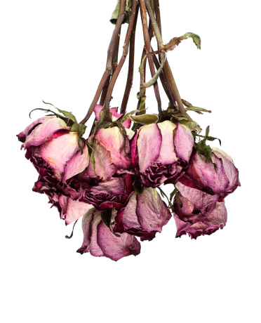 Dead roses hanging white background
