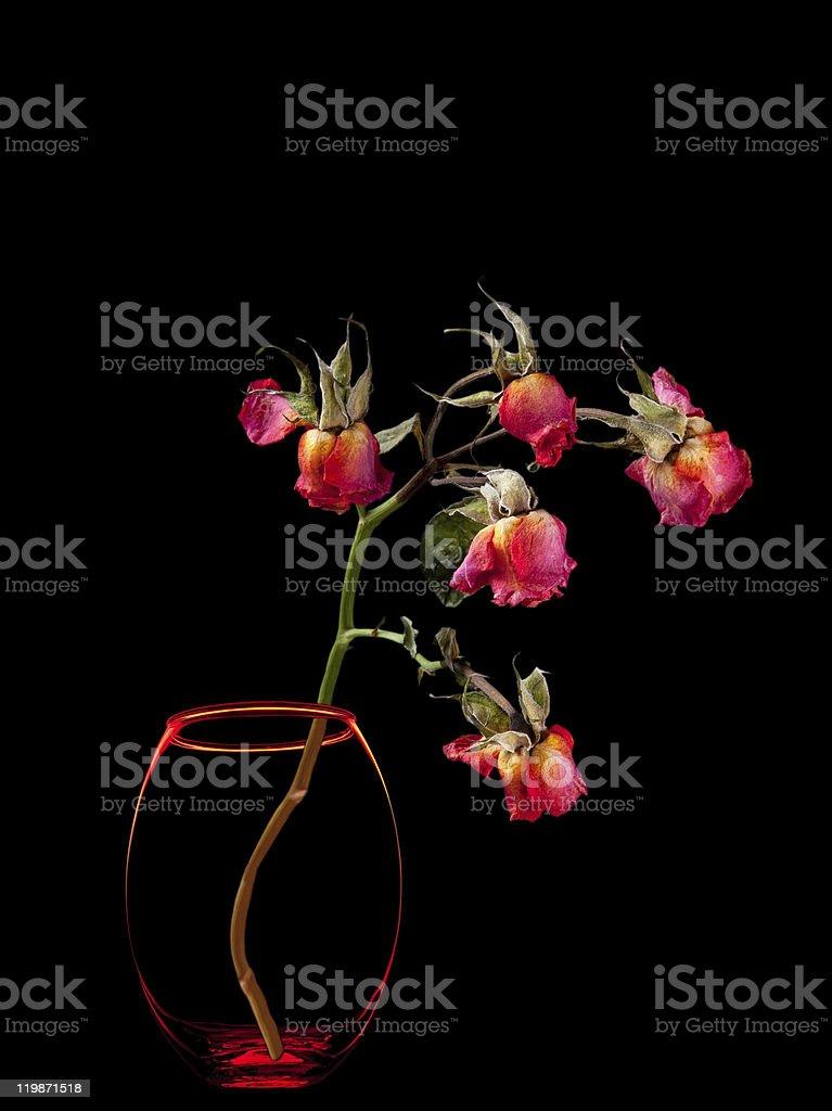 Dead roses in vase  on black royalty-free stock photo