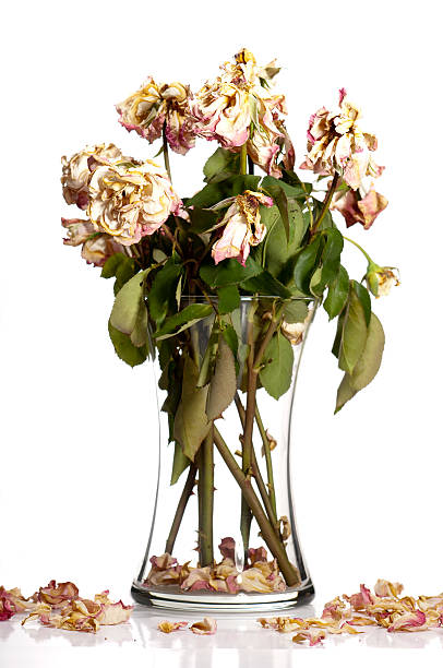 dead roses - dead plant stock photos and pictures