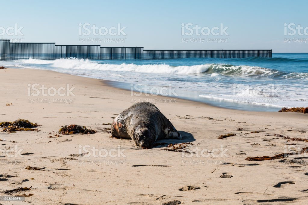 A dead sea lion on the beach at Border Field State Park, near the...
