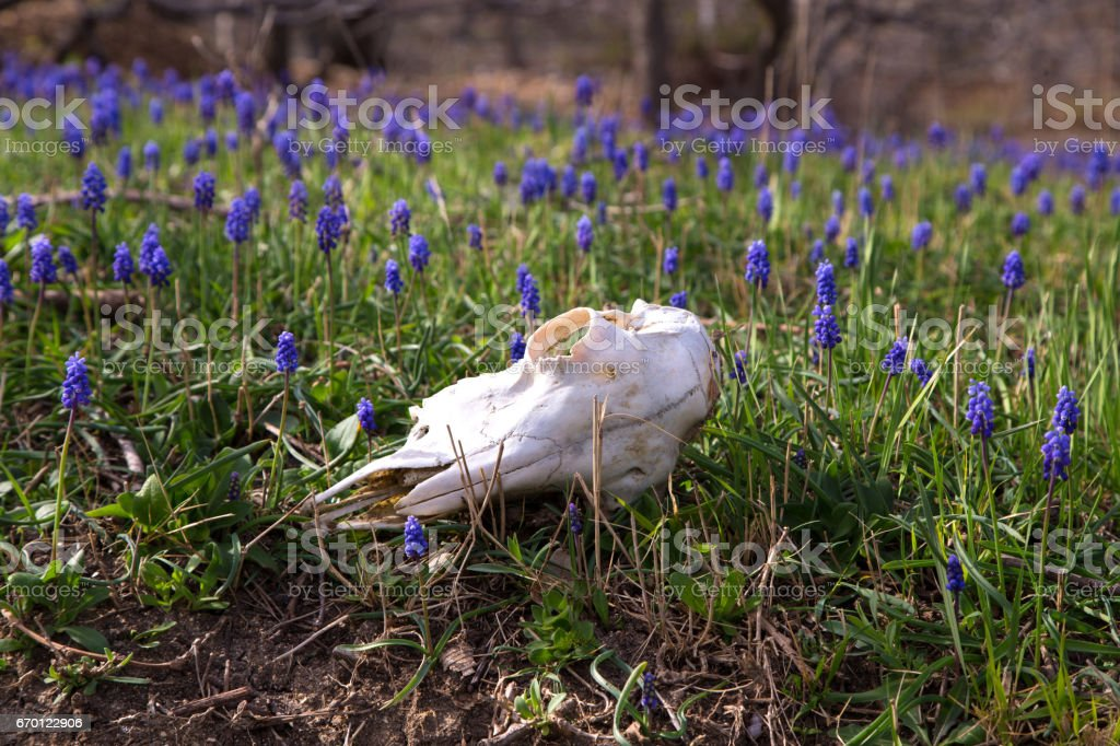 Dead sheep skull on flowering meadow stock photo