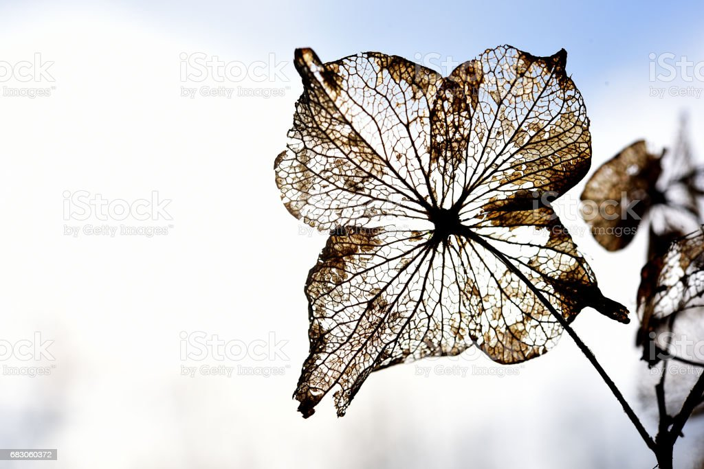Dead Skelaton of Hydrangea Flower foto de stock royalty-free