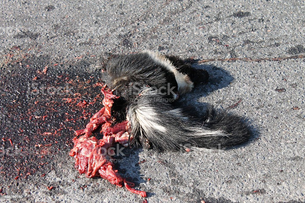 Dead Skunk Roadkill with Blood and Guts on Pavement stock photo