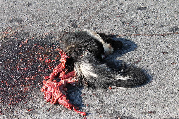 Dead Skunk Roadkill with Blood and Guts on Pavement - foto de acervo