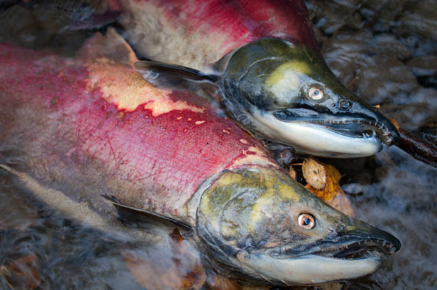 Dead sockeye salmon, after spawning stock photo