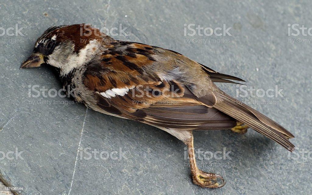 Dead sparrow on a patio stock photo