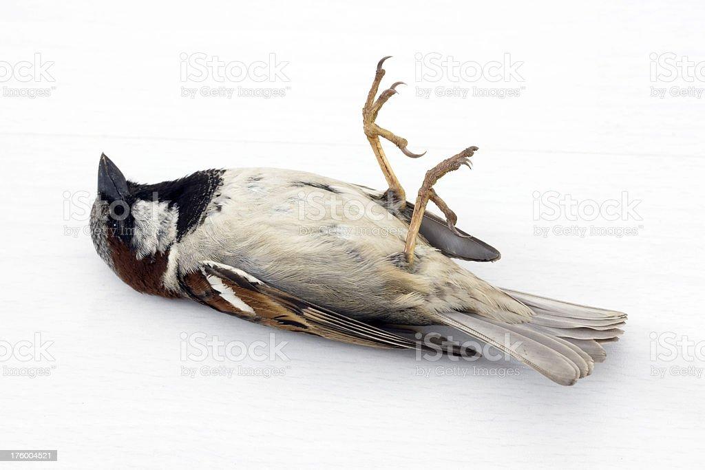 Dead Sparrow royalty-free stock photo