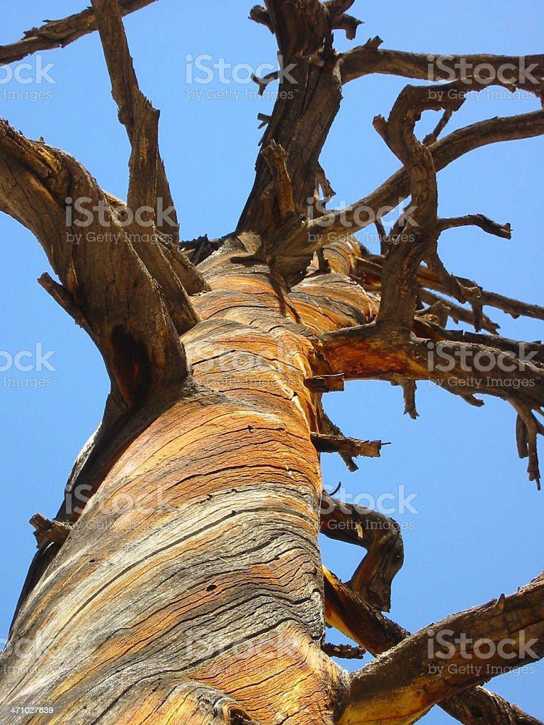 Dead Spiral Ponderosa Pine royalty-free stock photo
