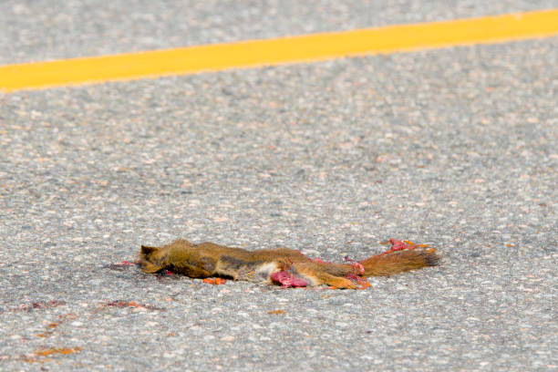 Dead Squirrel On A Road stock photo