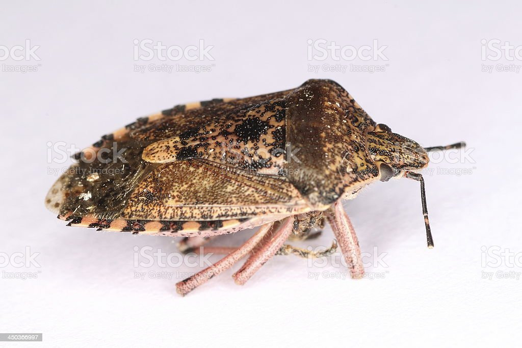 Dead Stink Bug Stock Photo & More Pictures of Animal | iStock