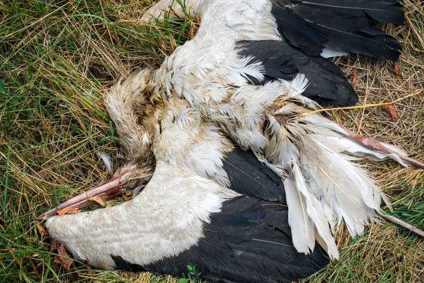 Dead stork lies in the grass (Ciconia ciconia) stock photo