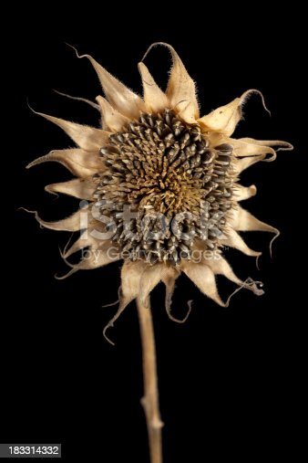 a dried and decaying sunflower plant against black