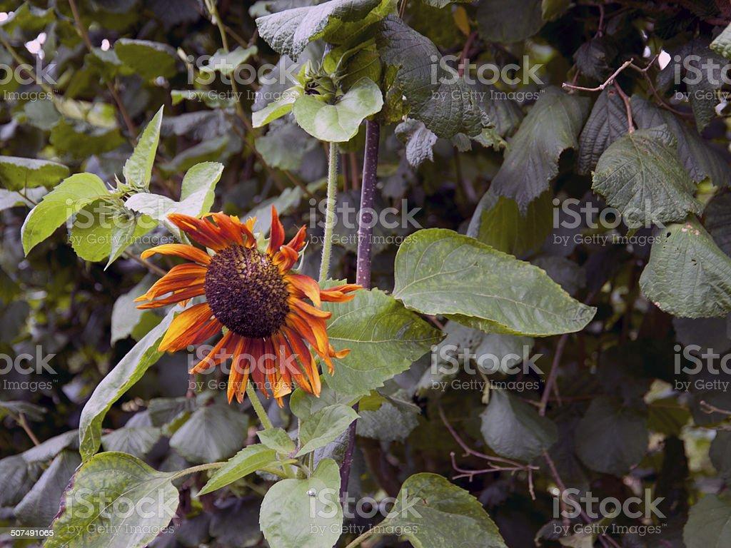 Dead Sunflower stock photo